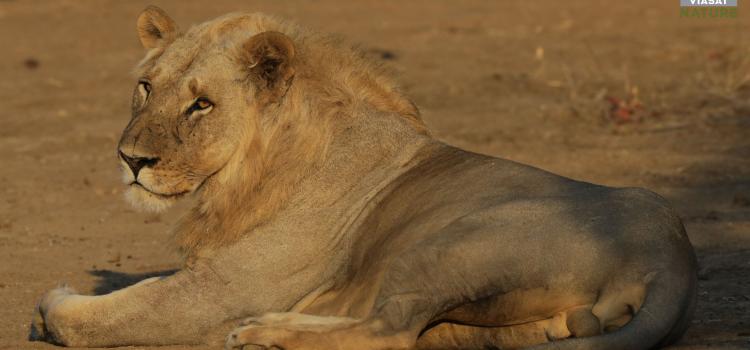 Pořad Území velkých koček je parádní podívaná na lvy znového pohledu